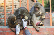 Volunteers Feed Hungry Animals at Nepal's Revered Shrine